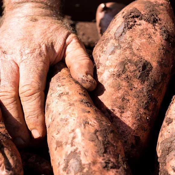 Sweet potato farms - Hydro Produce