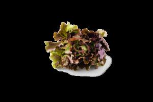 Leafy Fresh Mignonette Lettuce
