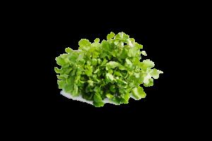 Leafy Fresh Watercress